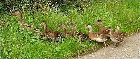 baby_ducks1.jpg